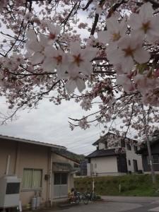 7種桜からの眺め