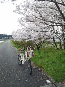 19三保の桜並木4.5