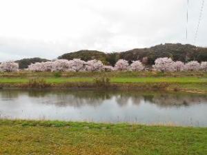 17三隅川の桜4.4