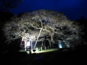 16大平桜4.3