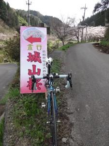 11金谷城の桜