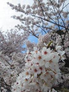 21桜アップ